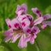 rose_geranium_-_cluster